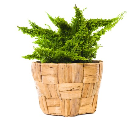 """Window plant """"Nephrolepis exaltata Gloriosa"""" isolated on white background."""