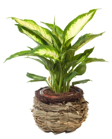 Venster plant Euphorbia leucocephala geïsoleerd op een witte achtergrond. Stockfoto