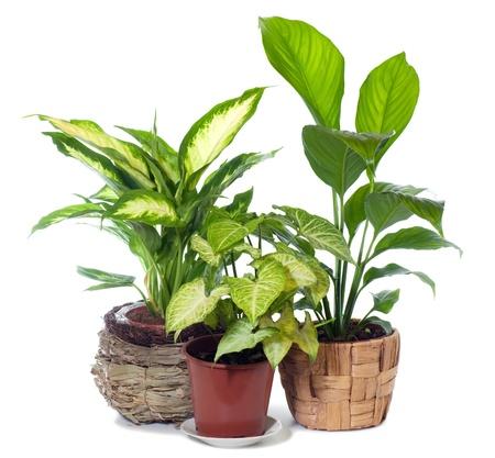 Groep van venster plant syngonium podophyllum, spathiphyllum wallisii en Dieffenbachia picta geïsoleerd op een witte achtergrond. Stockfoto