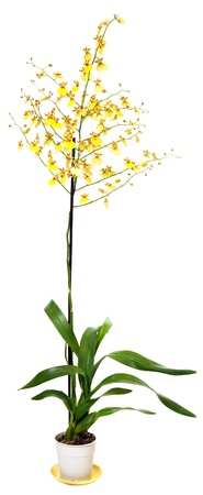 blotchy: beautiful bordeaux-yellow blotchy orchid flowers plant isolated on white