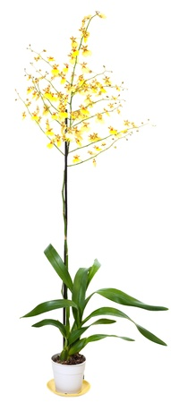 blotchy: Beautiful bordeaux-yellow blotchy orchid flowers plant isolated on white. Two shots stitch image.