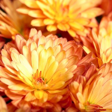 Beautiful orange chrysanthemum flower autumn vivid background