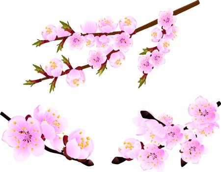 꽃이 만발한: 봄 벚꽃 나무의 꽃이 만발한 나뭇 가지