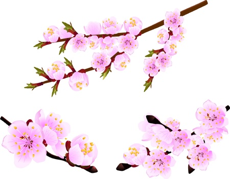 apricot tree: Blossoming twig of spring cherry  tree Illustration