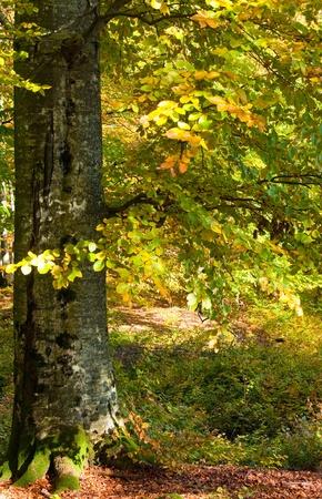 Eerste herfst gele bladeren in het zonnige beukenbos Stockfoto