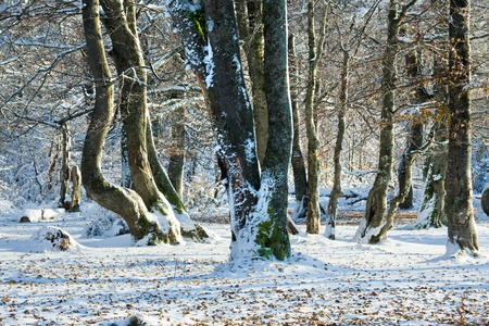 October mountain beech forest with first winter snow and last autumn leaves over. photo
