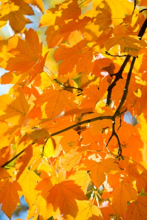 maple tree: autumn maple trees (closeup) in autumn city park Stock Photo