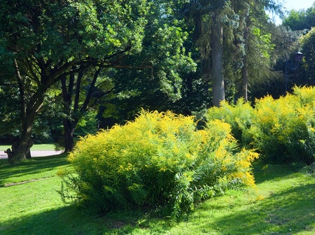 Blossoming bush with yellow flowers in summer city park photo