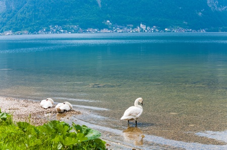 Beautiful summer  lake view with white swans on shore photo
