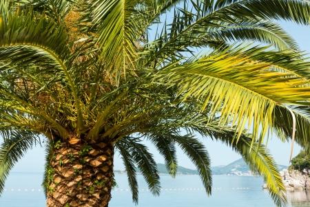 Palm tree top (closeup) on sea coast background (Montenegro, Budva) Stock Photo - 14572545