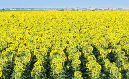 helianthus annuus: Summer blossoming sunflowers  (Helianthus annuus) field.