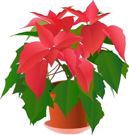 plant pot: Beautiful red poinsettia plant on white ( illustration) Illustration