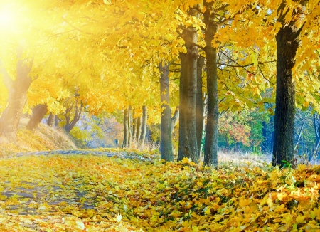 autumn maple trees in autumn city park and evening sunshine behind the tree foliage Stok Fotoğraf