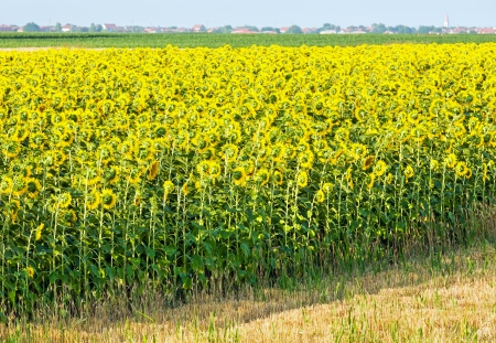 helianthus: Summer sunflowers  (Helianthus annuus)field