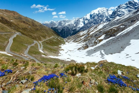 Blue flowers in front and summer Stelvio Pass with snow on mountainside and serpentine road (Italy) photo