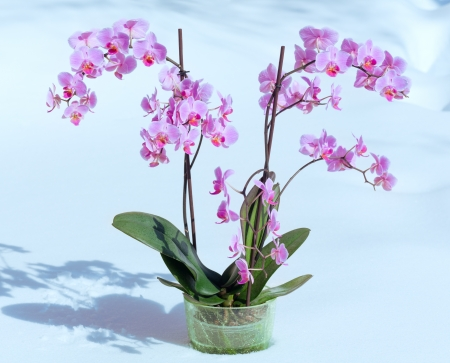 Beautiful pink-magenta orchid flowers plant on snow background photo