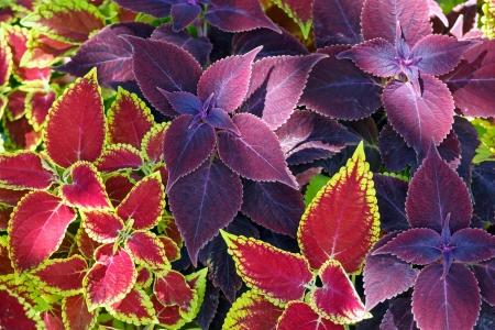Red coleus and purple plant closeup nature background Reklamní fotografie