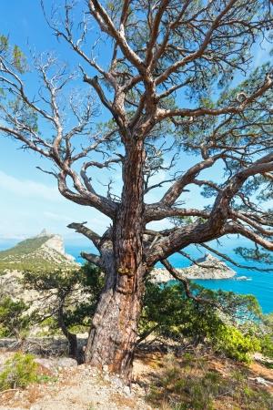 rocky mountain juniper: Coastline of  Novyj Svit reserve summer view with pine tree in front and Capchik Cape behind (Crimea, Ukraine).