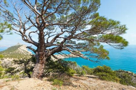 rocky mountain juniper: Coastline of Novyj Svit reserve summer view and pine tree in front (Crimea, Ukraine, Capchik Cape on  background)