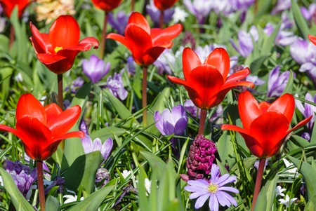 Beautiful red tulips and purple crocuses (closeup) in the spring time. Nature background. photo
