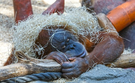 dormant: Sleeping orangutan with a bunch of hay on her head