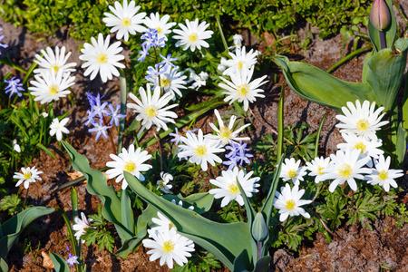 splendour: Anemone blanda, variety White Splendour in spring flowers