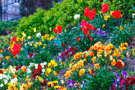 flamy: Blossoming varicolored Viola tricolor flowers and red tulips on spring flowerbed.