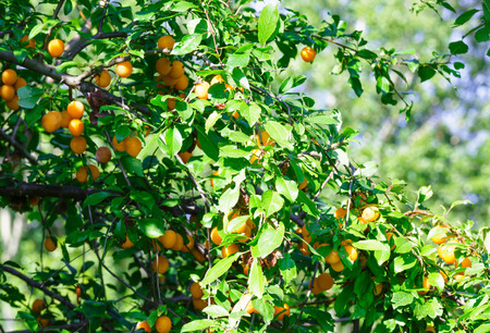 alycha: Branches with orange cherry plum fruit Stock Photo