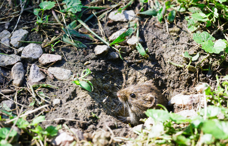 burrow: Little gray mouse looking out of its burrow