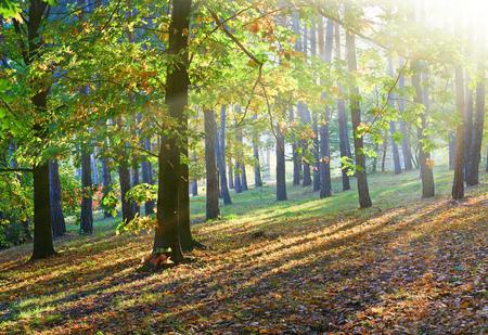 Yellow-green oak tree and sunrays in autumn city park Stock Photo