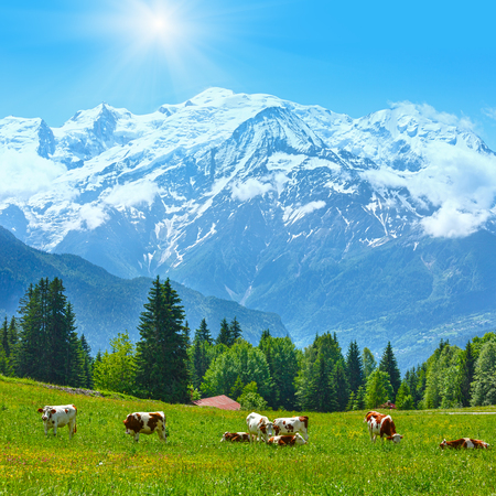 tranquility: Herd cows on blossoming glade and Mont Blanc mountain massif (Chamonix valley, France, view from Plaine Joux outskirts). Stock Photo