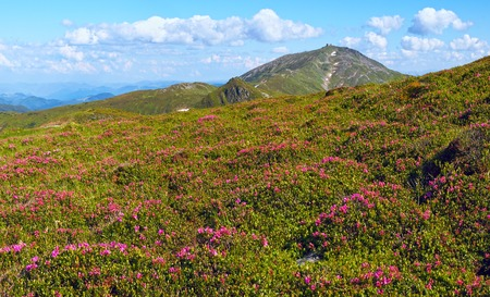 mountainside: Red rhododendron  flowers on summer mountainside (Carpathian, Ukraine)