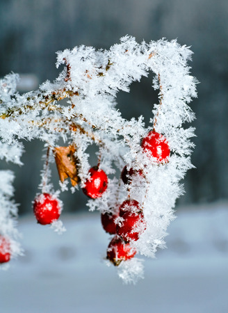 freeze dried: Rime covered branch of wild rose with red berries
