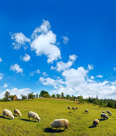 fleecy: Summer mountain village hill top, sheep herd and high blue sky with fleecy clouds  (Slavske village outskirts, Carpathian Mts, Ukraine).