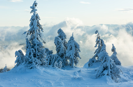 inclined: Inclined icy snowy fir trees in winter morning cloudy mountain.