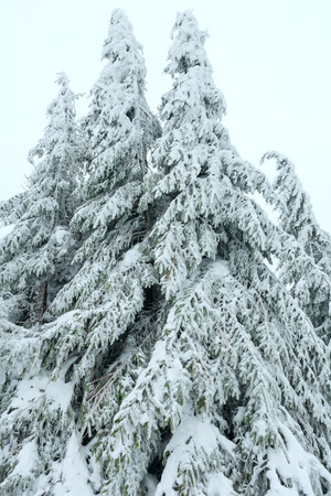 branchy: Snowy branchy fir trees  on cloudy sky background. Stock Photo