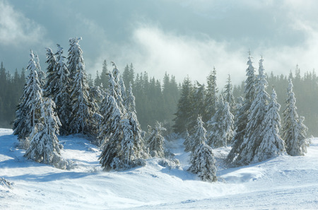 Icy snowy fir forest on winter morning slope in cloudy weather.