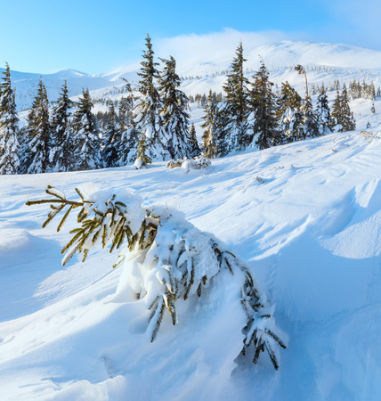 inclined: Small fir is inclined snow on slope (in front). Morning winter mountain landscape with snowy trees (Carpathian).