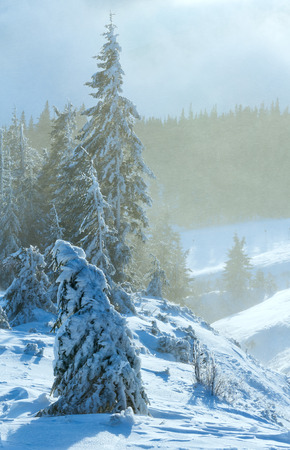 a blizzard: Morning winter mountain blizzard scenery with icy fir trees on slope.