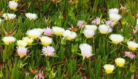 ice plant: Carpobrotus (known as pigface, ice plant) with white large daisy-like flowers closeup.