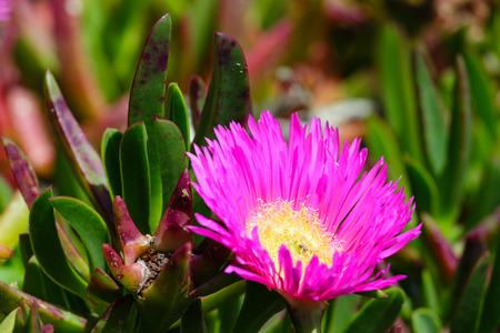 ice plant: Carpobrotus (known as pigface, ice plant) with  pink large daisy-like flowers closeup.