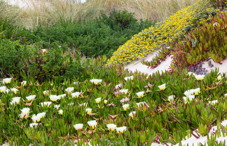ice plant: Carpobrotus plant (known as pigface, ice plant) with  white large daisy-like flowers on sandy hill. Stock Photo
