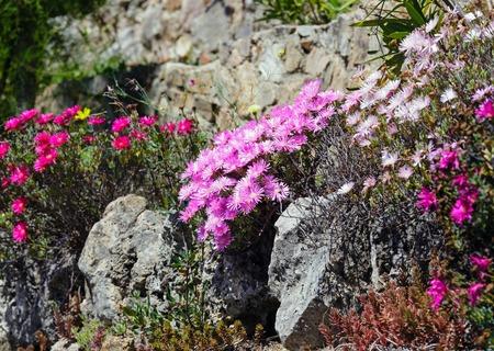 ice plant: Carpobrotus (known as pigface, ice plant) with  pink large daisy-like flowers.