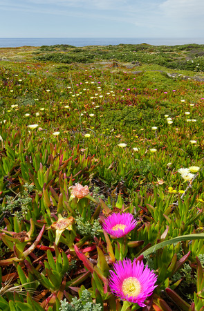 ice plant: Summer blossoming shore with Carpobrotus flowers (known as pigface, ice plant). Stock Photo