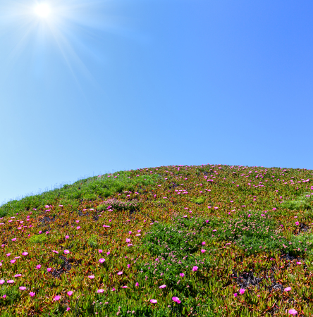 Summer blossoming hill with Carpobrotus pink flowers and blue sky with sunshine Stock Photo