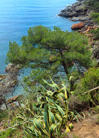 Conifer tree and stripped Agave americana plant on edge of cliff above sea. Stock Photo