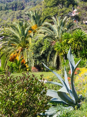 Blossoming palm tree with yellow flowers and aloe plant in nature blossoming palm tree with yellow flowers and aloe plant in nature park stock photo mightylinksfo