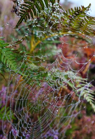 野生のライラックヘザーの花とクモの巣と野生の山の草原に早霧の朝露が落ちる。