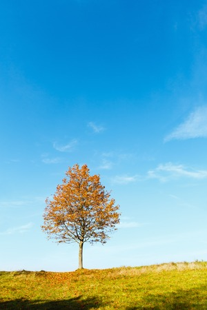Lonely autumn maple tree on sunny hill top on blue sky background.