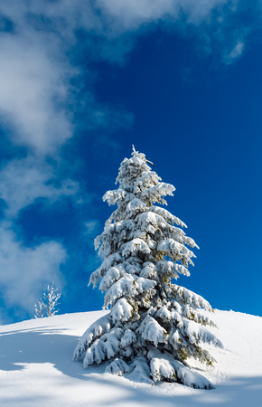 Beautiful winter snow cowered and rime frosting big fir tree on mountain slope with snowdrifts on blue sky background (Carpathian mountain, Ukraine) Stock Photo